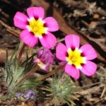 Small five-petaled pink flowers - Leptosiphon montanus
